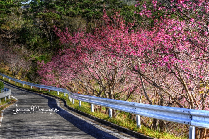 Cherry Blossoms lining the road in Nago Central Park.