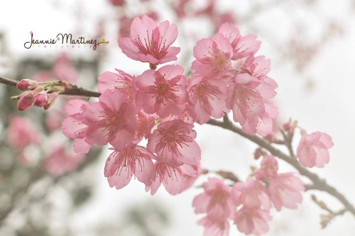 Fully bloomed Cherry Blossoms- Motobu