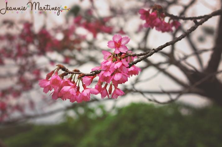 Cherry Blossom branch - Motobu