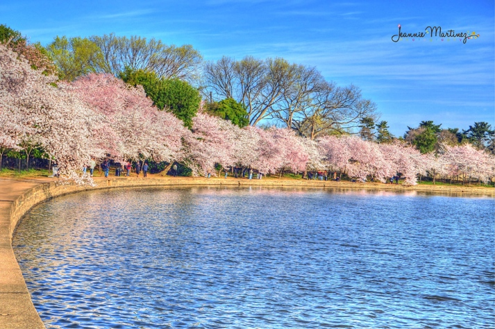 Cherry Blossoms lining the Tidal Basin in Washington D.C.